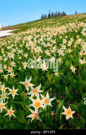 Avalanche lilies along Hurricane Ridge in Washington state's Olympic National Park - Stock Photo