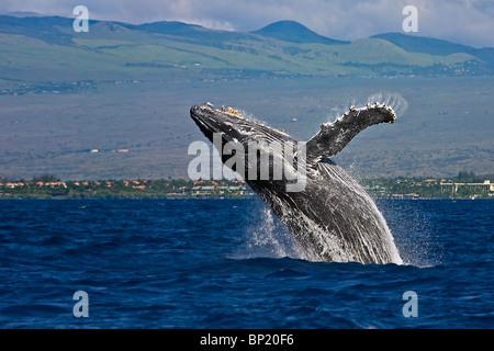 Breaching Humpback Whale, Megaptera novaeangliae, Kona Coast, Big Island, Hawaii, USA - Stock Photo