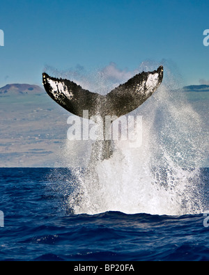 Tail of Humpback Whale, Megaptera novaeangliae, Kona Coast, Big Island, Hawaii, USA - Stock Photo