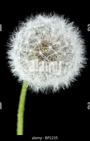 Blossoming dandelion, isolated on black