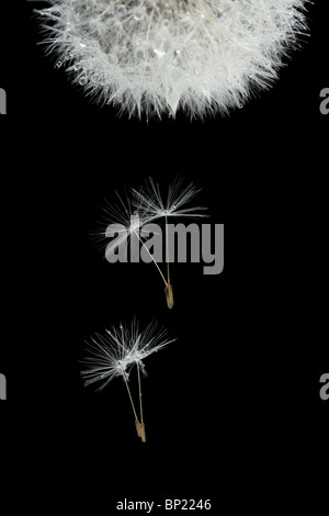 Flying seeds of blossoming dandelion, isolated on black - Stock Photo