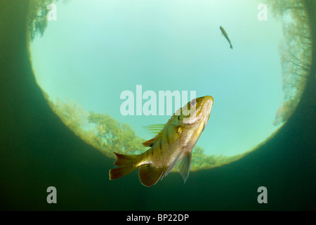Bluegill, Lepomis macrochirus, Ginnie Springs, Florida, USA - Stock Photo