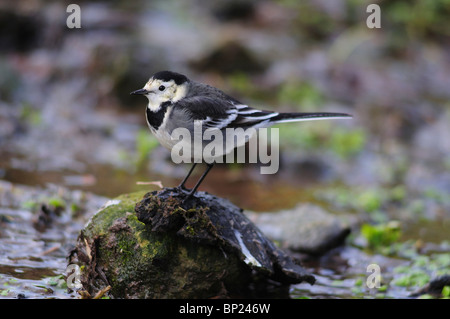 Pied wagtail resting on stone in stream. Dorset, UK December 2009 - Stock Photo