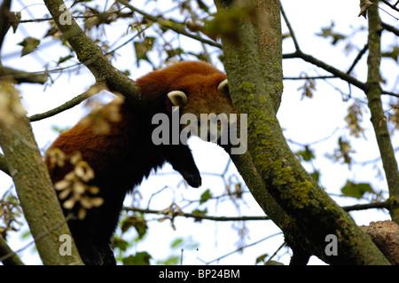 Close-up of a Red Panda