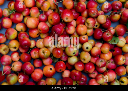 A pile of freshly picked apples from an orchard - Stock Photo