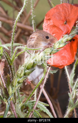 Harvest Mouse (Micromys minutus). Male feeding on wheat seed head, or panicle, amongst Field Poppies (Papaver rhoeas). - Stock Photo