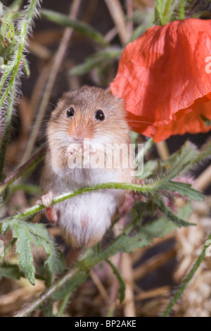 Harvest Mouse (Micromys minutus). Using fore feet to hold wheat seed. - Stock Photo