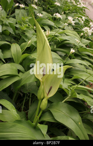 Lords-and-ladies (Arum maculatum : Araceae), with ramsons, on a laneside, UK. - Stock Photo