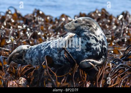 Grey seal, Halichoerus grypus, Farne Islands, Seahouses, Northumberland, UK - Stock Photo