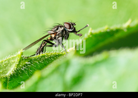 Fly standing on the edge of a leaf. - Stock Photo