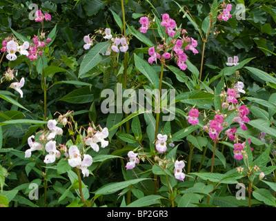 Himalayan Balsam Flowers (impatiens glandulifera) Stock Photo