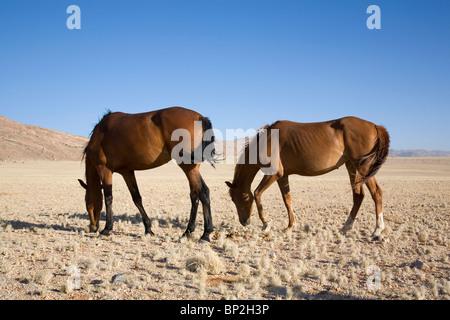 Namibian desert feral horses - Stock Photo