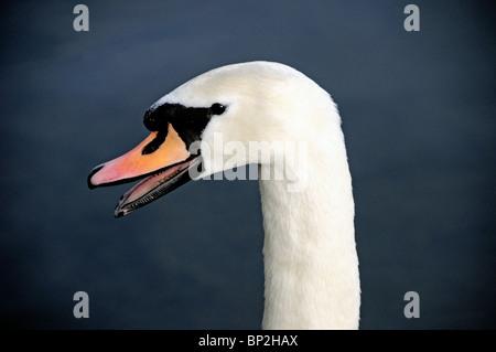 Mute Swan Cygnus olor close up of head - Stock Photo