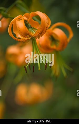 Lilium Henryi Lily Turks Cap close up - Stock Photo