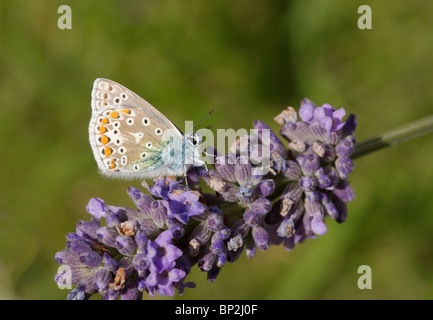 Common Blue butterfly, Polyommatus icarus, photographed feeding on lavender - Stock Photo
