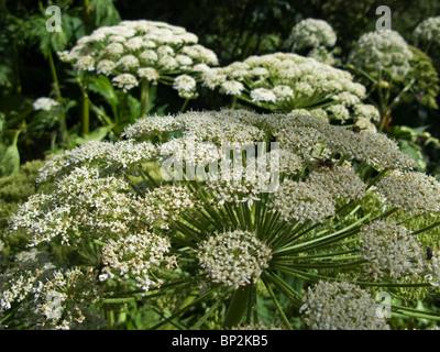 Giant Hogweed Cow Parsley Heracleum mantegazzianum Apiaceae - Stock Photo