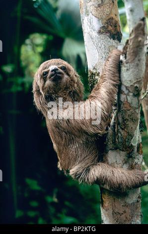 Three Toad Sloth, juvenile, climbing tree, - Stock Photo