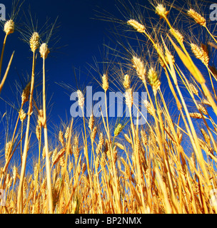 Wheat field landscape closeup on rye over blue sky - Stock Photo
