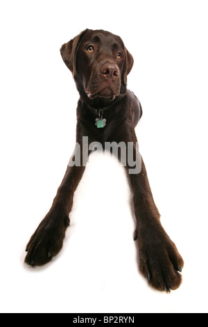 Labrador Retriever Single puppy lying wide-angle Studio, UK - Stock Photo