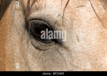 Close-up of brown eye of Lusitano mare. - Stock Photo