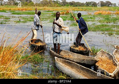 Young men of the local Bayei community punting with a pole in tradiional mokoro logboats, Okavango Delta, Botswana - Stock Photo