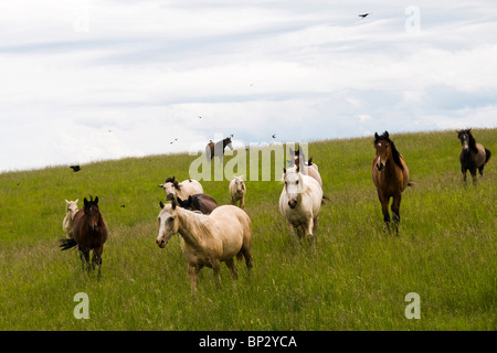 Lusitano mares running wild on a ranch in Oregon. - Stock Photo