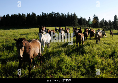 Herd of Lusitano horses on a ranch in Oregon. Wilderness country. - Stock Photo