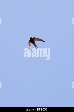 Pallid Swift in flight, in the Great Caucasus, Georgia. - Stock Photo