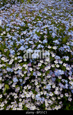 Wood Forget-me-not with Slender Speedwell, Veronica filiformis, Georgia. - Stock Photo