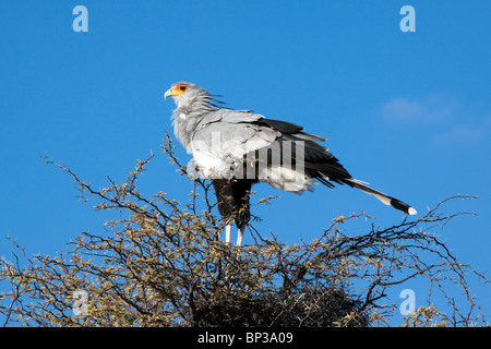 Secretary bird, Sagittarius serpentarius, roosting in a camel thorn tree in the Kgalagadi Transfrontier National - Stock Photo