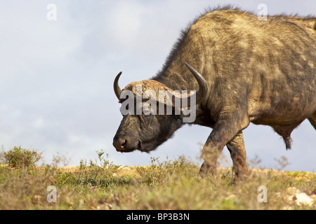 African or Cape buffalo (Syncerus caffer) bull grazing in the Addo Elephant National Park, South Africa. - Stock Photo