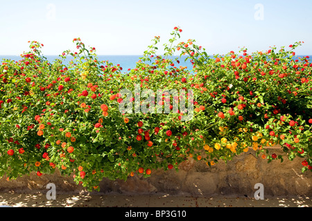 Red Sage Lantana, Spanish Flag, Lantana camara  Rhodes Greece - Stock Photo