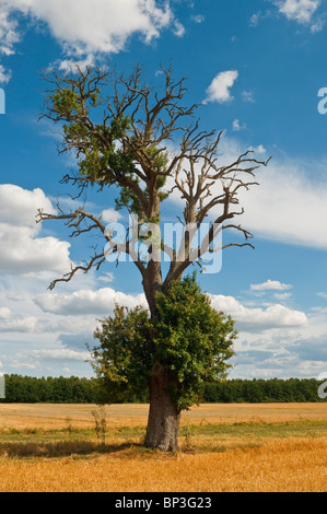 Old Spanish Chestnut / Castanea sativa tree with blight disease on farmland - sud-Touraine, France. - Stock Photo