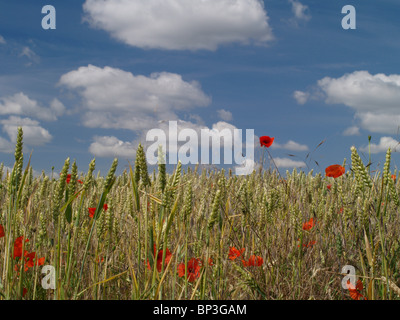 Wild red poppies growing amongst a crop of wheat in a farmers field against a blue sky with fluffy white clouds - Stock Photo