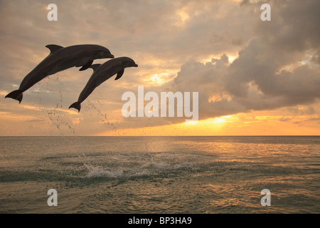 Roatan, Bay Islands, Honduras; Two Bottlenose Dolphins Jumping Out Of The Water At Anthony's Key Resort At Sunset - Stock Photo
