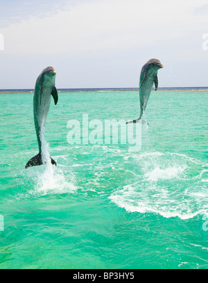 Roatan, Bay Islands, Honduras; Two Bottlenose Dolphins (Tursiops Truncatus) Jumping Out Of The Water At Anthony's - Stock Photo