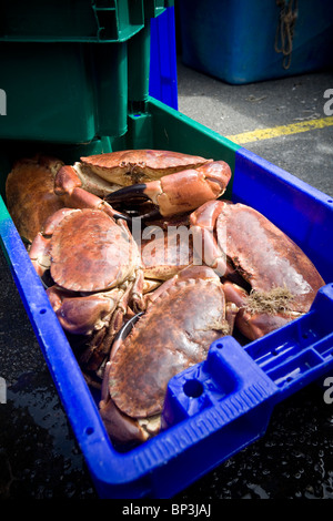 At the Roscoff salesroom (France), edible Crabs (Cancer pagurus) displayed to buyers. Crabes tourteaux en vente - Stock Photo
