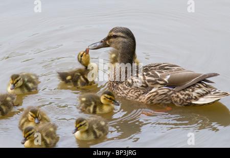 duckling mallard (Anas platyrhynchos) kissing his mom. - Stock Photo
