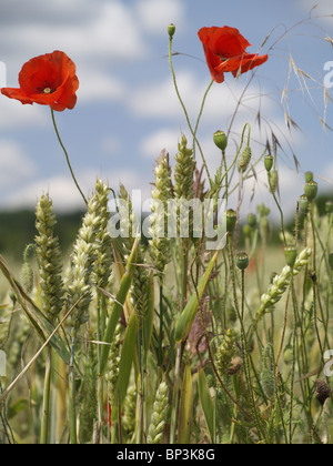 Two wild red poppies growing amongst a wheat crop in a farmers field against a blue sky with fluffy white clouds - Stock Photo