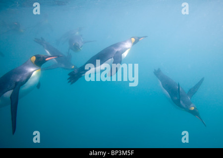 Antarctica, South Georgia Island , Underwater view of King Penguins (Aptenodytes patagonicus) swimming in Right - Stock Photo