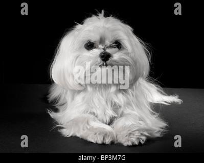 Pure bred Maltese white dog on a black background - Stock Photo