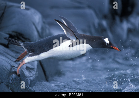 Antarctica, Petermann Island, Adelie Penguins (Pygoscelis adeliae) waving flippers while standing at edge of rookery - Stock Photo