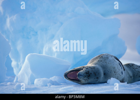 Antarctica, Boothe Island, Leopard Seal (Hydrurga leptonyx) hauled out on iceberg near Port Charcot and Lemaire - Stock Photo