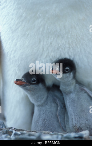 Antarctica, Wiencke Island, Gentoo Penguin chicks (Pygoscelis papua) nestled under mother in rookery at Port Lockroy - Stock Photo