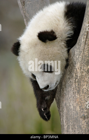Young giant panda cub in fork of tree, Wolong, China - Stock Photo