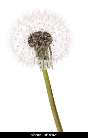 dandelion close up shot with white background - Stock Photo