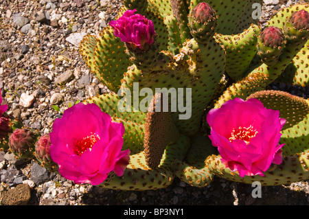 Beavertail cactus (Opuntia basilaris) in bloom, Death Valley National Park. California - Stock Photo