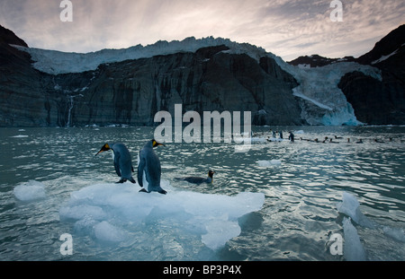 Antarctica, South Georgia Island , King Penguins  on icebergs calved from tidewater glaciers above Gold Harbour - Stock Photo