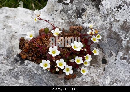 Irish Saxifrage, Saxifraga rosacea ssp. rosacea on limestone pavement, The Burren, Eire - Stock Photo