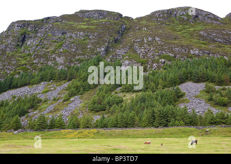 Cattle of the species Vestlandsk Fjordfe at grassy fields on the island Runde on the west coast of Norway. - Stock Photo